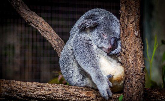 Koala Up Close & Personal