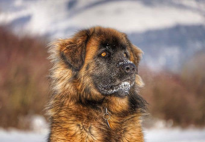 Leonberger Prices In Australia