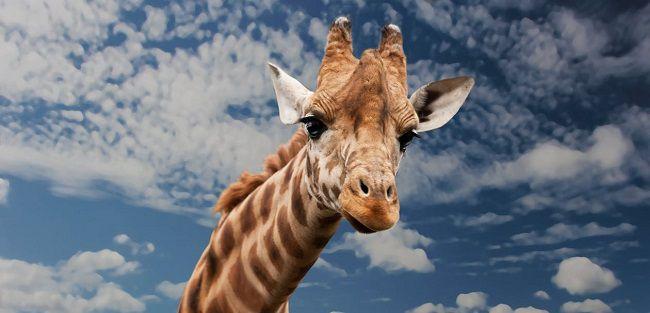 Monarto Zoo Giraffes