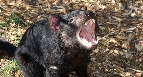 Tasmania Devil Conservation Peel Zoo